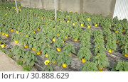 Купить «Decorative sunflower flowers carefully growing in flowerpots in glasshouse farm», видеоролик № 30888629, снято 26 апреля 2019 г. (c) Яков Филимонов / Фотобанк Лори