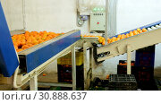 Купить «View of ripe mandarin oranges on conveyor belt of sorting production line», видеоролик № 30888637, снято 29 января 2019 г. (c) Яков Филимонов / Фотобанк Лори