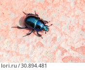Жук навозник весенний Dung beetle (Scarabaei) Стоковое фото, фотограф Галина Савина / Фотобанк Лори