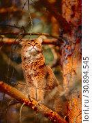 Rudy somali cat sitting on a pine tree branch at sunlight. Стоковое фото, фотограф Julia Shepeleva / Фотобанк Лори