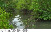 Купить «В мангровом лесу южного Таиланда. Индокитай, Юго-Восточная Азия», видеоролик № 30894689, снято 11 декабря 2018 г. (c) Виктор Карасев / Фотобанк Лори