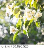 Купить «Садоводство. Ветка нежного цветущего ароматного белого чубушника ( жасмина ) в лучах жаркого утреннего солнца в парке», фото № 30896525, снято 8 июня 2019 г. (c) Светлана Евграфова / Фотобанк Лори
