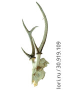 Купить «Hog deer skull isolated on white background, clipping path.», фото № 30919109, снято 6 августа 2012 г. (c) easy Fotostock / Фотобанк Лори