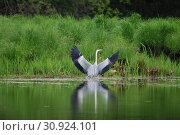 Купить «Серая цапля на берегу озера(лат. Ardea cinerea)», эксклюзивное фото № 30924101, снято 28 мая 2019 г. (c) syngach / Фотобанк Лори