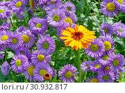 Купить «Цветок календулы (лат. Calendula officinalis) и цветущий мелколепестник (лат. Erigeron) в саду», фото № 30932817, снято 15 июля 2017 г. (c) Елена Коромыслова / Фотобанк Лори