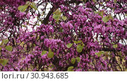 Купить «Blossoming of purple cercis siliquastrum in meadows of Europe in the spring», видеоролик № 30943685, снято 31 марта 2019 г. (c) Яков Филимонов / Фотобанк Лори