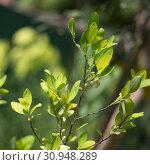 Купить «Leaves and berries of the plant Erythroxylum coca in botanical garden of plants and spices in Sri Lanka», фото № 30948289, снято 15 марта 2019 г. (c) katalinks / Фотобанк Лори