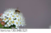 Bee on a white inflorescence in spring collects pollen. Crataegus monogyna in spring. White inflorescences sway in the wind. Стоковое видео, видеограф Константин Мерцалов / Фотобанк Лори