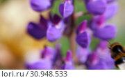 Flower Lupinus swaying in the wind. Bumblebee collecting pollen. Стоковое видео, видеограф Константин Мерцалов / Фотобанк Лори