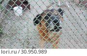 Купить «Dog barks behind the fence», видеоролик № 30950989, снято 1 июня 2019 г. (c) Илья Шаматура / Фотобанк Лори