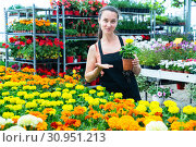 Купить «Female horticulturist in apron working with flowers French marigold in pots in hothouse», фото № 30951213, снято 25 июня 2019 г. (c) Яков Филимонов / Фотобанк Лори