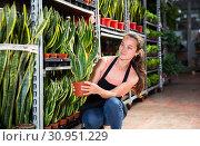 Купить «Young female gardener showing plant of Sansevieria Laurenti in pots», фото № 30951229, снято 4 июля 2020 г. (c) Яков Филимонов / Фотобанк Лори