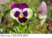 Купить «Фиалка трехцветная (лат. Viola tricolor), или анютины глазки», фото № 30974453, снято 27 июня 2018 г. (c) Елена Коромыслова / Фотобанк Лори