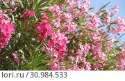 Купить «Beautiful pink blooming oleander on a sunny day», видеоролик № 30984533, снято 13 июня 2019 г. (c) Володина Ольга / Фотобанк Лори