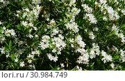 Купить «Beautiful white blooming oleander on a sunny day», видеоролик № 30984749, снято 13 июня 2019 г. (c) Володина Ольга / Фотобанк Лори