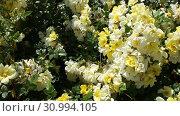 Купить «Rose flowers blooming in spring garden», видеоролик № 30994105, снято 27 мая 2019 г. (c) Яков Филимонов / Фотобанк Лори