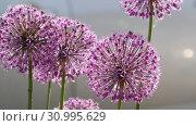 Купить «Insects on the onion flower», видеоролик № 30995629, снято 13 июня 2019 г. (c) Игорь Жоров / Фотобанк Лори