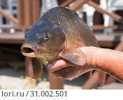 Купить «Мужская рука держит крупную только что выловленную рыбу, которая открыла рот», фото № 31002501, снято 23 июня 2019 г. (c) Наталья Николаева / Фотобанк Лори