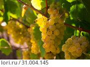 Купить «Ripe white grapes on vine», фото № 31004145, снято 18 февраля 2020 г. (c) Яков Филимонов / Фотобанк Лори