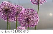 Купить «Insects on the onion flower», видеоролик № 31006613, снято 13 июня 2019 г. (c) Игорь Жоров / Фотобанк Лори