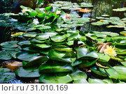 Купить «Цветущие кувшинки», фото № 31010169, снято 10 мая 2012 г. (c) Арестов Андрей Павлович / Фотобанк Лори