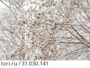 Купить «Winter Forest, Nature, Trees, Maple, Branch, Snow Day, Cold, Maple Seeds», фото № 31030141, снято 2 декабря 2016 г. (c) easy Fotostock / Фотобанк Лори