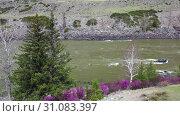Купить «Video from a drone flying along Altai river Katun in Spring season. Bank with rhododendron bushes at the beginning of flowering», видеоролик № 31083397, снято 3 июня 2019 г. (c) Serg Zastavkin / Фотобанк Лори