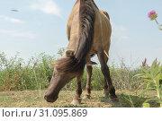 Wild Konik or Polish primitive horse (konik polski or konik biłgorajski) (2019 год). Стоковое фото, фотограф Некрасов Андрей / Фотобанк Лори