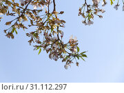 Купить «Branches of a Cherry Blossom tree in bloom», фото № 31112297, снято 4 апреля 2010 г. (c) easy Fotostock / Фотобанк Лори