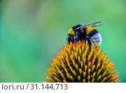 Купить «Bumblebee on Echinacea Flower purple coneflower closeup», фото № 31144713, снято 16 июля 2017 г. (c) easy Fotostock / Фотобанк Лори