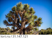 Купить «A large green Yucca tree in Southeastern California located at Mojave Desert», фото № 31147121, снято 21 апреля 2017 г. (c) easy Fotostock / Фотобанк Лори