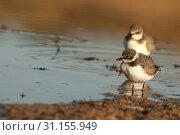 Купить «Little Ringed Plover (Charadrius dubius), Looking for food in water and mud», фото № 31155949, снято 9 сентября 2007 г. (c) easy Fotostock / Фотобанк Лори