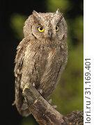 Otus scops, Eurasian Scops Owl, small owl, perched on a branch. Стоковое фото, фотограф Javier Alonso Huerta / easy Fotostock / Фотобанк Лори