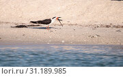 Купить «Flock of black skimmer terns Rynchops niger on the beach at Clam Pass in Naples, Florida», фото № 31189985, снято 10 марта 2018 г. (c) easy Fotostock / Фотобанк Лори