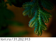 Купить «Blue and Gold fern close up found only in abundant forests. Natural beauty is rare.», фото № 31202913, снято 28 января 2018 г. (c) easy Fotostock / Фотобанк Лори