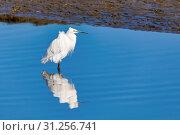 Купить «Bird White Heron (grat egret) in Walvis Bay reservation with beautiful reflection in water, Namibia, Safari wildlife», фото № 31256741, снято 3 мая 2018 г. (c) easy Fotostock / Фотобанк Лори