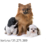 Puppies shih tzu and spitz in front of white background. Стоковое фото, фотограф Emmanuelle Bonzami / easy Fotostock / Фотобанк Лори