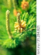 Купить «Flower blooming pine at spring with needles at background, closeup», фото № 31284821, снято 15 мая 2017 г. (c) easy Fotostock / Фотобанк Лори