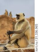 Купить «India, Rajasthan, Ranthambhore National Park, Ranthambhore fort, Grey langur monkeys.», фото № 31336965, снято 19 октября 2017 г. (c) age Fotostock / Фотобанк Лори