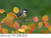 Купить «Great Tit perched on a branch, Great Tit, Parus major», фото № 31339621, снято 15 сентября 2004 г. (c) age Fotostock / Фотобанк Лори