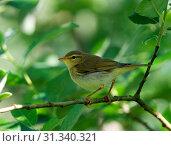 Купить «Willow Warbler perched on branch, Willow Warbler, Phylloscopus trochilus», фото № 31340321, снято 17 июня 2010 г. (c) age Fotostock / Фотобанк Лори