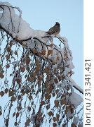 Купить «Bohemian Waxwing sitting on snow covered branch, Bohemian Waxwing, Bombycilla garrulus», фото № 31341421, снято 10 ноября 2006 г. (c) age Fotostock / Фотобанк Лори