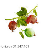 Gooseberry, isolated hand-painted illustration on a white background. Стоковое фото, фотограф YAY Micro / easy Fotostock / Фотобанк Лори