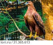 Купить «Brown with black hawk sitting on a tree branch, popular aviary pet, large bird of prey», фото № 31365613, снято 31 марта 2020 г. (c) easy Fotostock / Фотобанк Лори