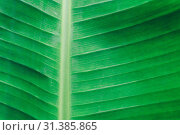 Купить «Close up detailed view of green banana leaf background with abstract vain texture lines form natural pattern. Bright lit by sunlight of tropical forest use as space for text or image backdrop design.», фото № 31385865, снято 7 апреля 2019 г. (c) easy Fotostock / Фотобанк Лори