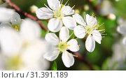 Цветение вишни. Стоковое видео, видеограф Виктор Топорков / Фотобанк Лори