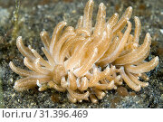 Купить «Long-cirri Phyllodesmium Nudibranch (Phyllodesmium longicirrum, Facelinidae family) with cerata with digestive gland ducts connected to zooxanthellae,...», фото № 31396469, снято 9 сентября 2007 г. (c) age Fotostock / Фотобанк Лори