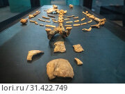 Купить «The remains of one of the earliest human ancestors, Lucy, on display within the National Museum of Ethiopia, Addis Ababa, Ethiopia.», фото № 31422749, снято 16 марта 2019 г. (c) age Fotostock / Фотобанк Лори