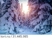 Купить «Beautiful winter landscape, amazing view of a big fir trees covered with snow in bright sun light, sunny frosty day in the forest, Czech republic», фото № 31445985, снято 30 декабря 2014 г. (c) easy Fotostock / Фотобанк Лори