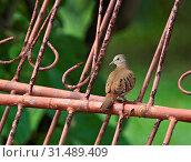 Купить «Ruddy Ground Dove adult perched on iron fence, Ruddy Ground Dove, Columbina talpacoti», фото № 31489409, снято 7 декабря 2007 г. (c) age Fotostock / Фотобанк Лори